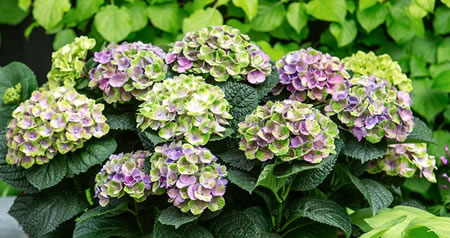 magical_hortensia_3