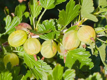 Fruitpassie voor heerlijke bessen